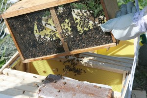 Honey Bees on the farm